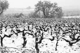 pieds de vigne en 1956